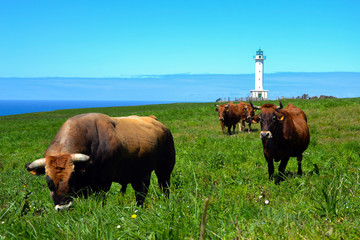 Bull and Cows in Lastres Lighthouse (Asturias, Spain)