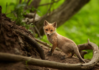Lovely Red Fox cub Vulpes vulpes next to den among roots in european spring forest staring directly at the camera. Czech republic.