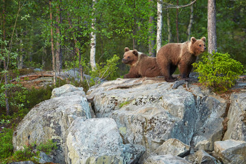 Ursus arctos, two Brown Bear cubs standing on the rock, waiting for return of the mother bear.  Bear cubs in arctic taiga forest, lit by early morning colorful light . Finland - Russia border.