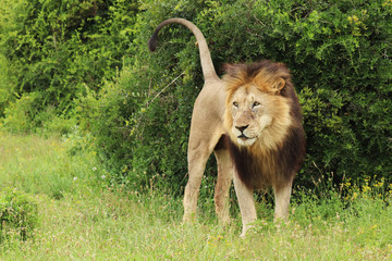 A full body image of a lion living in the wild.
