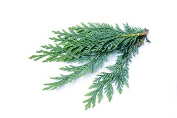 zypresse zypressenzweig zypressenast Cupressus zypressen Zypressengewächse isoliert freigestellt auf weißen Hintergrund, Freisteller