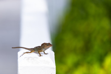 The small brown lizard in the natural environment catch warm sun rays. Green blurred background and the white parapet. Anolis distichus in Caribbean islands.
