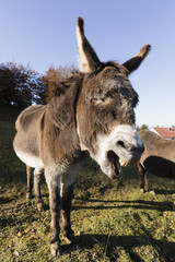 Fototapete - A gray donkey is screaming around in Switzerland