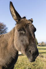 Wall Mural - Portrait of a gray donkey looking into the camera, Switzerland