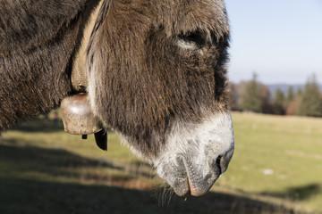 Fototapete - Portrait of a gray donkey wearing a bell, Switzerland