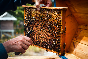 Beekeeper at beehive colony frame full of bees. Organic breeding care