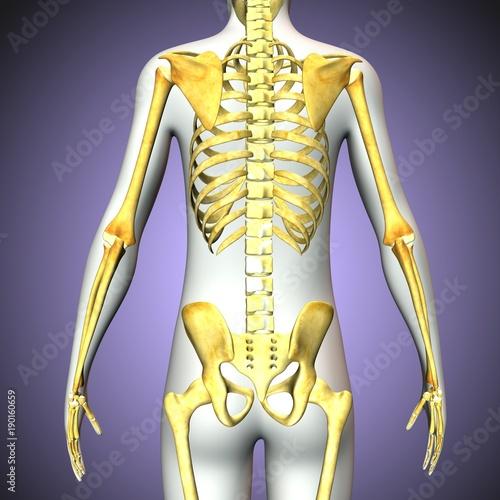 3d Rendered Anatomy Illustration Of A Human Skeleton Back Side
