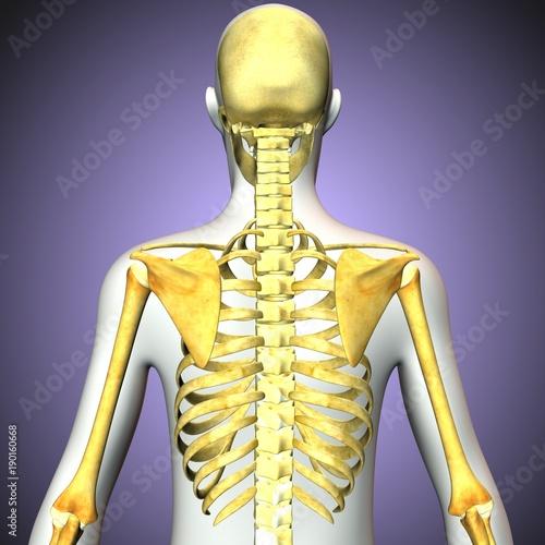 3d rendered anatomy illustration of a human skeleton-back side ...