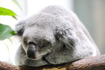 Sleeping koala closeup