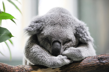 Photo sur Aluminium Koala Sleeping koala closeup