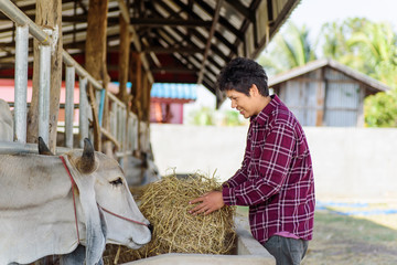 Cowboy holding rice straw and feeding to cow in a farm, livestock in Thailand