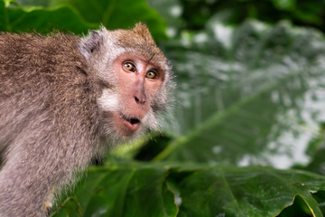 Foto op Aluminium Aap Monkey is shocked and surprised. Facial emotion of animal.