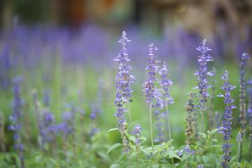 Blue salvia purple flowers, ornamental plants spring.