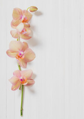 orchids on white wooden background