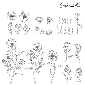 Calendula officinalis flowers isolated on white background, botanical hand drawn marigold, vector illustration for design package tea, cosmetics, natural medicine, greeting cards, wedding invitation