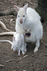 albino wallaby with joey