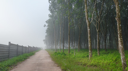 image of local road, rubber trees in the foggy morning, taken from rubber plantation field in nakhon si thammarat province of Thailand.