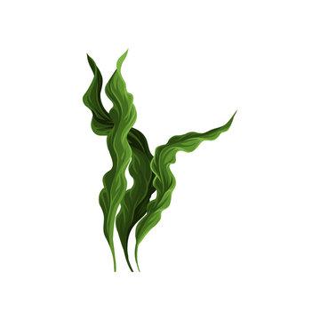 Underwater seaweed spirulina, aquatic marine algae plant vector Illustration
