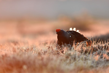 Black grouse at sunrise. Black grouse at bog landscape at sunrise.