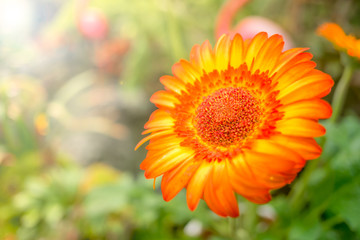 Soft focus of orange chrysanthemum under the sunlight and lens flare, natural
