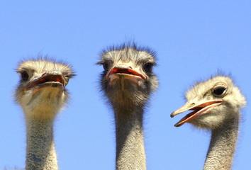 drei Strauße schauen mit offenem Schnabel witzig nach vorn