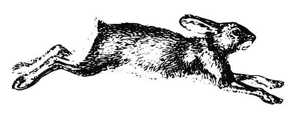 Hase Schneeschuhhase - Northern Varying Hare