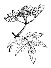 Schwarzer Holunder - Sambucus nigra - elderberry