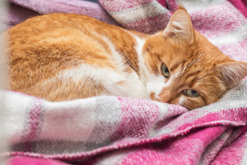 Red-and-white kitty is peaceful slumbering at the new violet plaid on the windowsill. Cozy home concept. Close up.