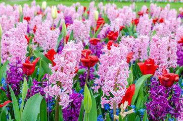 Pink and purple flowering hyacinth bulbs in the garden of Keukenhof, Netherlands