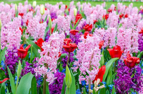 Pink and purple flowering hyacinth bulbs in the garden of Keukenhof, Netherlands