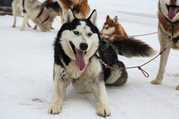 Husky on the ice of Lake Baikal.Siberia.