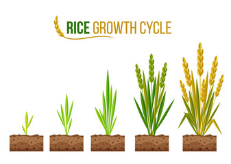 Rice Growth cycle 5 step vector design