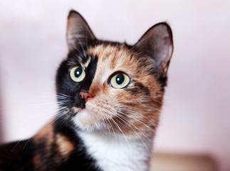 Портрет трехцветной кошки