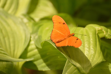 Bright Orange Julia Butterfly on green leaves