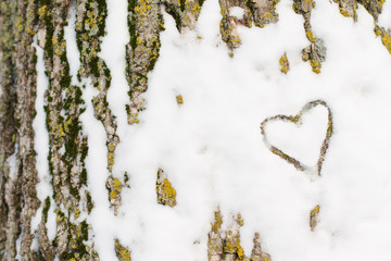 A heart traced in the snow on the bark of a ash tree
