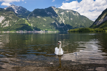 White swans on the Sunny morning lake Hallstatter See. Hallstatt village in the Austrian Alps