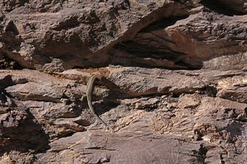Eidechse beim Trinken auf einem Stein in den Pyrenäen