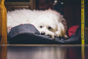 Maltese bichon dog