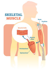 Skeletal muscle vector illustration diagram, anatomical scheme with human hand.