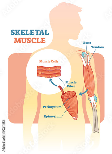 Skeletal muscle vector illustration diagram anatomical scheme with skeletal muscle vector illustration diagram anatomical scheme with human hand ccuart Gallery