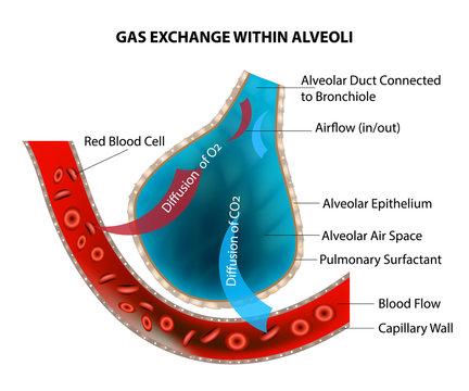 GAS EXCHANGE WITHIN ALVEOLI