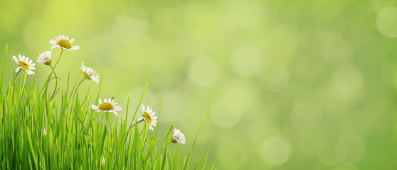 Daisy flowers and grass on green bokeh