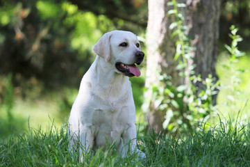 lovely cute yellow labrador in the park
