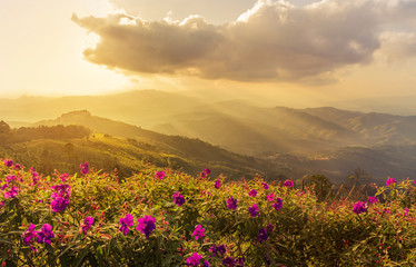 Pink impatiens balsamina flowers with sunset landscape view at mountains at doi chang mup Chiangrai,nothern Thailand