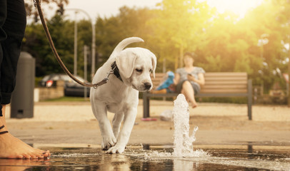 cute little young labrador retriever dog puppy looking curious at water fountain before playing