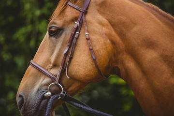 Close-up of thoroughbred horse