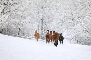 Herd of horses in a deep winter