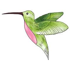 Hummingbird illustration, colibri bird