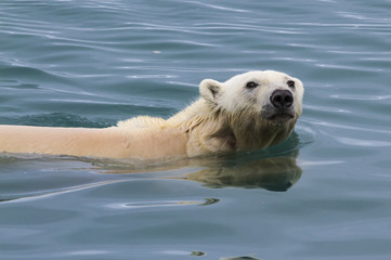 Polar bear swimming in the waters of Svalbard, arctic Norway