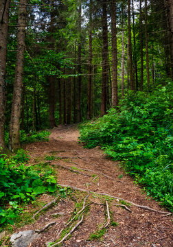 footpath in ancient coniferous forest. lovely nature scenery in summertime